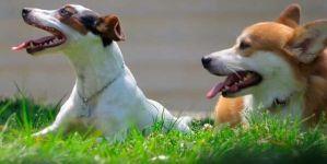 Vacunas de la tos de las perreras