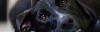 Callos en los codos de los perros: ¿lesiones por un mal apoyo?