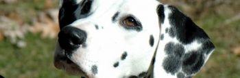 Tipos de pelo de perro, su cuidado y mantenimiento