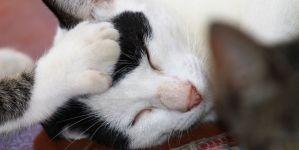 Infección de orina en gatos y otras enfermedades urinarias