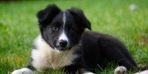 ¿Qué comen los cachorros de border collie?