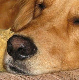 ¿Dónde debe dormir un golden retriever?