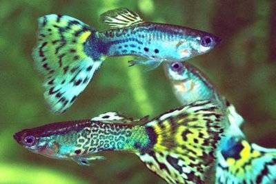 Tetra guppy tiendanimal for Fuentes para peces